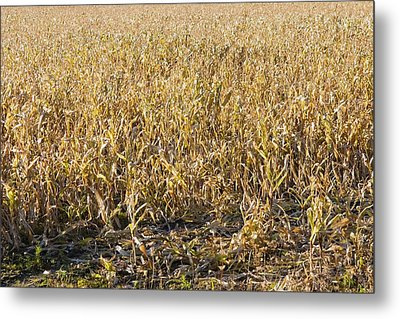 Autumn Cattle Silage Corn In Maine Metal Print by Keith Webber Jr