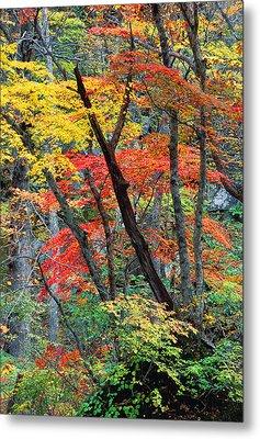 Autumn Color Japan Maples Metal Print by Robert Jensen