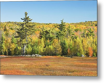 Autumn Colors In Maine Blueberry Field And Forest Metal Print by Keith Webber Jr