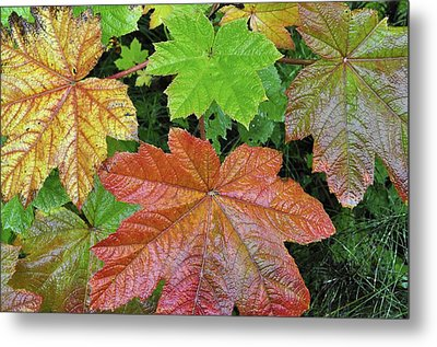 Autumn Devil's Club Metal Print by Cathy Mahnke