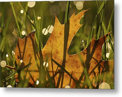 Autumn Dew Metal Print by Penny Meyers
