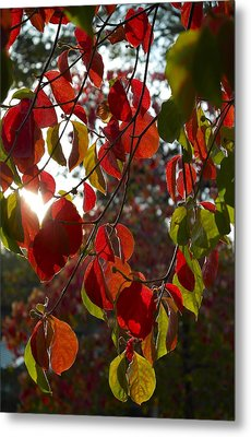 Autumn Dogwood In Evening Light Metal Print by Michele Myers