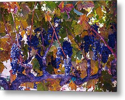 Autumn Grape Harvest Metal Print