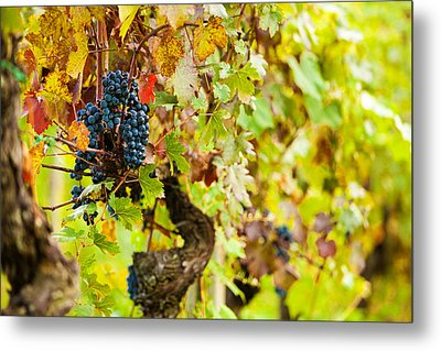 Autumn Grape Harvest Season Metal Print by Susan Schmitz