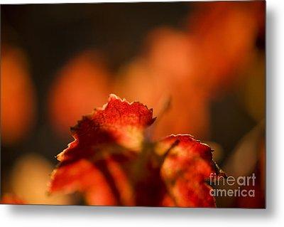 Autumn Grape Leaf Macro Metal Print by Charmian Vistaunet