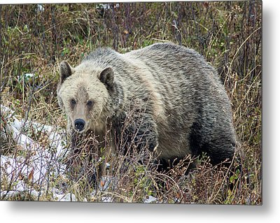 Metal Print featuring the photograph Autumn Grizzly by Jack Bell
