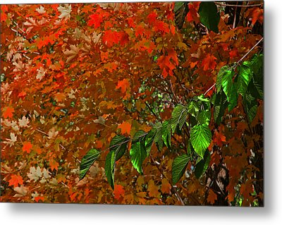 Autumn Leaves In Red And Green Metal Print