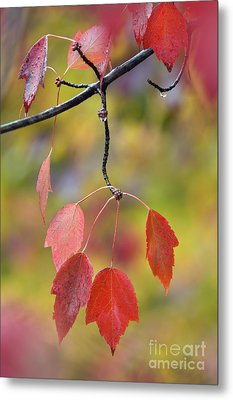 Autumn Maple - D008640 Metal Print by Daniel Dempster