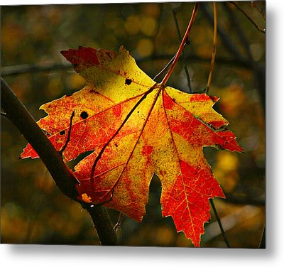 Autumn Maple Leaf Metal Print by Richard Engelbrecht
