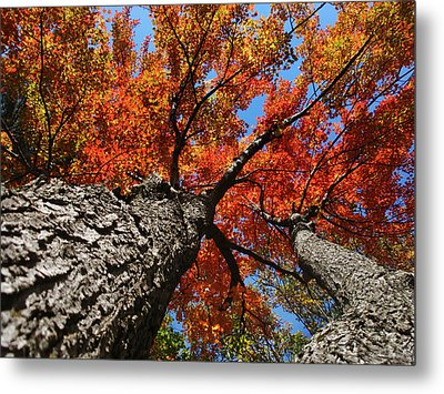 Autumn Nature Maple Trees Metal Print by Christina Rollo