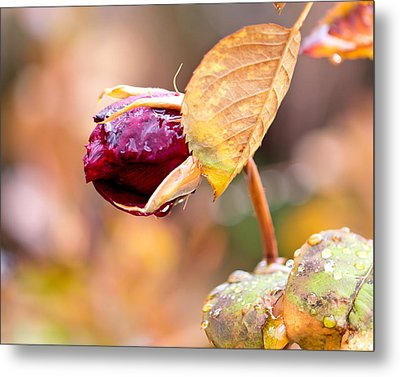 Metal Print featuring the photograph Autumn Rosebud by Rona Black