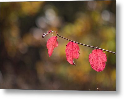 Metal Print featuring the photograph Autumn Twig With Red Leaves by Jivko Nakev