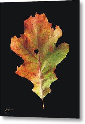 Autumn White Oak Leaf 3 Metal Print