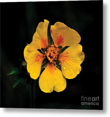 Avens Flower Metal Print
