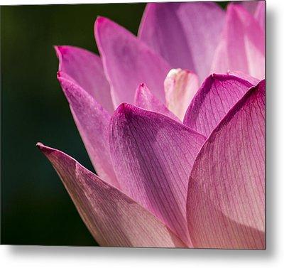 Awakening Lotus Metal Print by Jon Woodhams