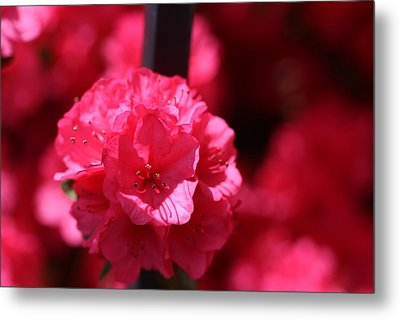 Azalea Bloom Metal Print