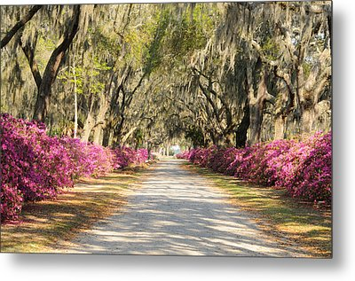 Metal Print featuring the photograph azalea lined road in Spring by Bradford Martin