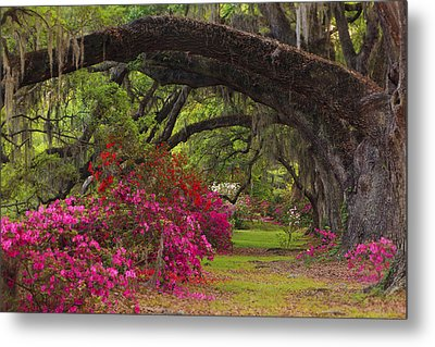 Azaleas And Oaks Metal Print by Mike Lang