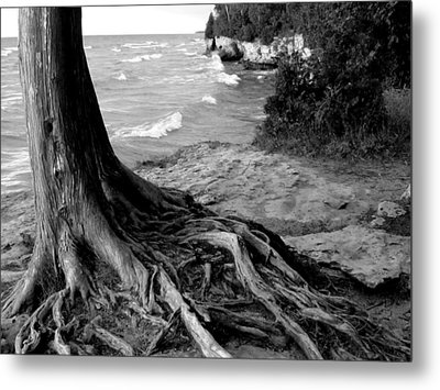 B And W Cedar Roots At Cave Point Metal Print