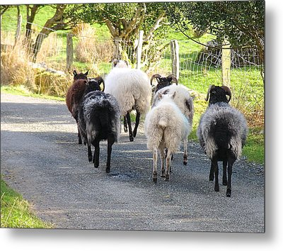 Ba Ba Blacksheep Metal Print by Suzanne Oesterling