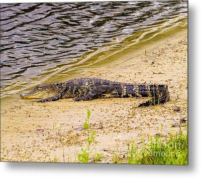 Baby Alligator At The Lake Metal Print