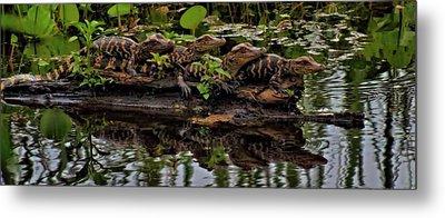 Baby Alligators Reflection Metal Print