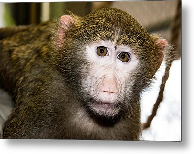 Baby Baboon Metal Print by Robin Williams