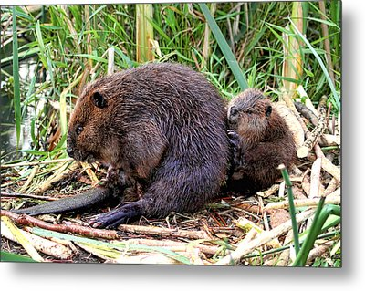 Baby Beaver With Mother Metal Print