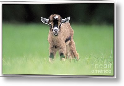 Baby Billy Goat Painting Metal Print by Marvin Blaine
