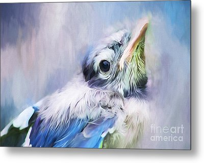 Baby Blue Jay Metal Print by Darren Fisher