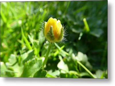 Metal Print featuring the photograph Baby Buttercup by Laurie Tsemak
