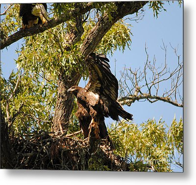 Baby Eagle Stretching His Wings Metal Print by Jai Johnson