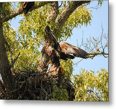 Baby Eagle Trying To Fly II Metal Print by Jai Johnson