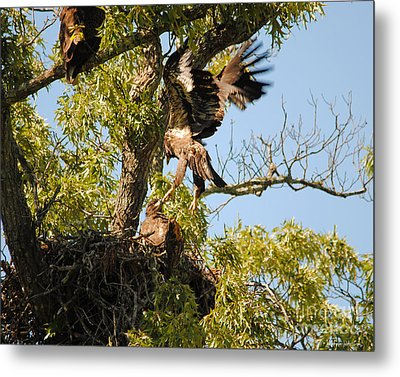 Baby Eagle Trying To Fly Metal Print by Jai Johnson
