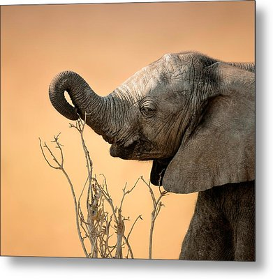 Baby Elephant Reaching For Branch Metal Print by Johan Swanepoel