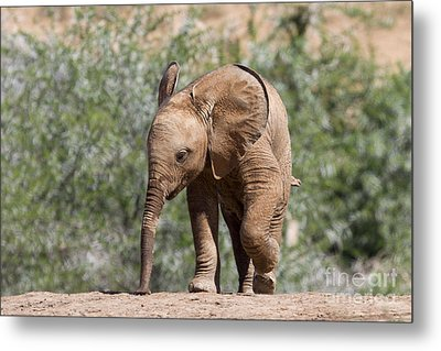 Baby Series Elephant Metal Print