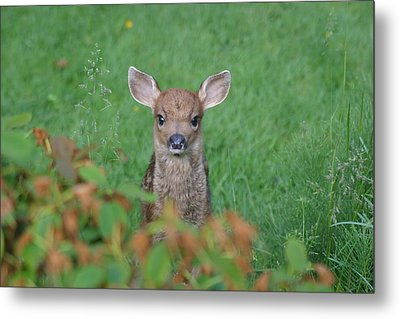 Baby Fawn In Yard Metal Print by Kym Backland