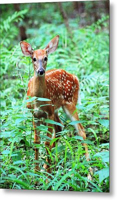 Baby Fawn Metal Print by Lorna Rogers Photography
