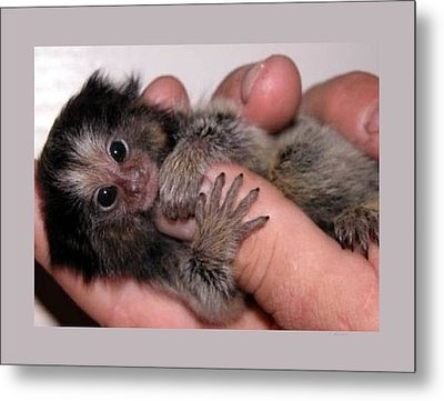 Baby Finger Monkey Light Background Metal Print by L Brown
