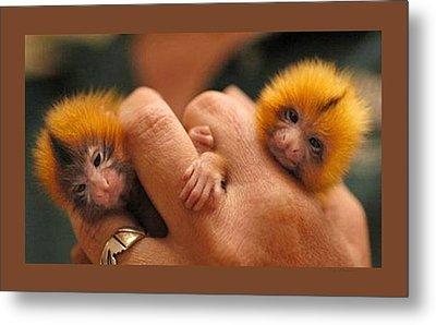 Baby Finger Monkeys Brown Border Metal Print by L Brown