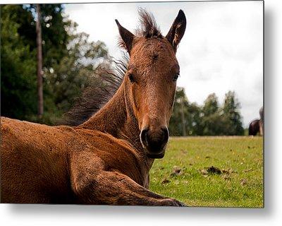 Baby Foal Metal Print