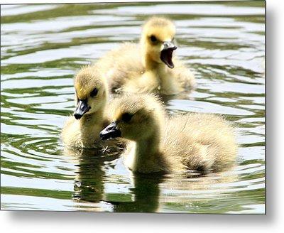 Baby Geese Metal Print by Diane Rada