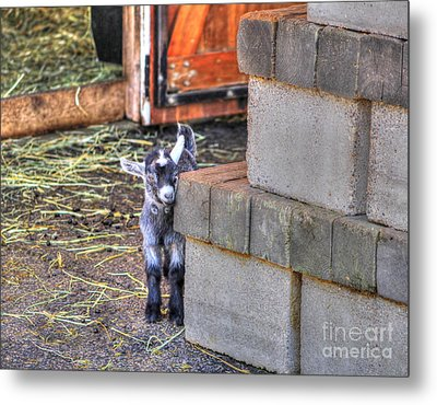 Baby Goat Metal Print by Jimmy Ostgard