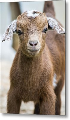 Baby Goat Metal Print by Shelby  Young