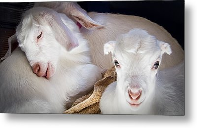 Baby Goats Napping Metal Print
