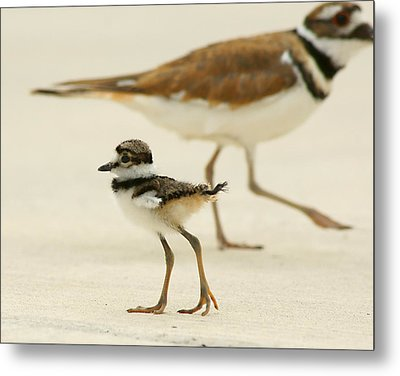 Metal Print featuring the photograph Baby Killdeer by Jeremy Farnsworth