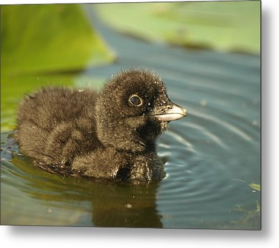 Metal Print featuring the photograph Baby Loon by James Peterson