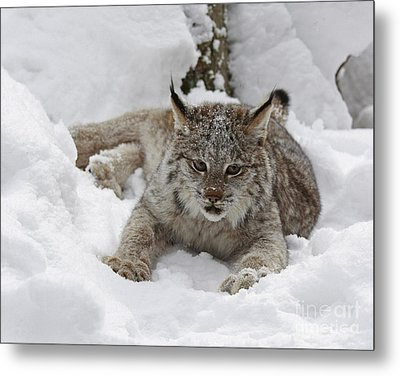 Baby Lynx In A Winter Snow Storm Metal Print by Inspired Nature Photography Fine Art Photography