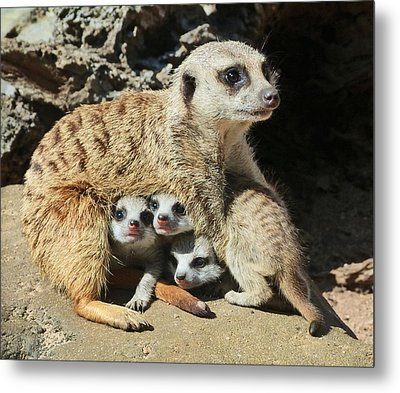 Baby Meerkats View The World Metal Print
