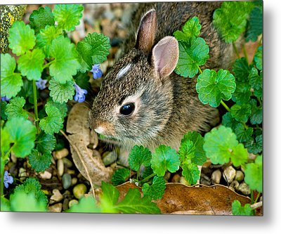 Baby Rabbit Metal Print